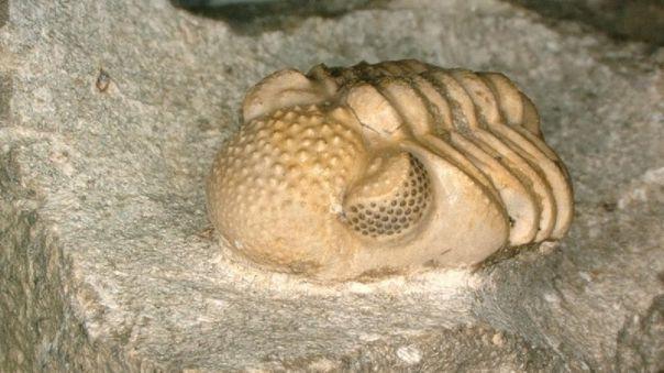 Phacops geesops, un trilobite del Devónico.