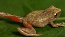 Descubren una nueva especie de rana en el Parque Nacional Tingo María