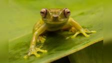 Reserva de Biosfera del Manu tiene su primera guía bilingüe de anfibios