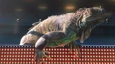 Iguana gigante apareció en pleno partido del Masters 1000 de Miami