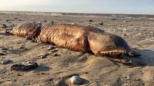 El huracán Harvey dejó una extraña criatura en una playa de Texas