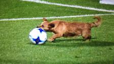 Perro entró a la cancha y 'ayudó' a que San Lorenzo derrotara a Arsenal