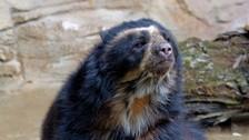 Tres claves para entender por qué el oso de anteojos peligra en Ecuador