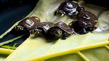 Así crece la población de tortugas charapa en el Yasuní