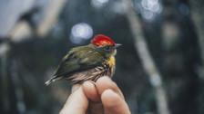 Perú: la nueva especie de ave descubierta por su peculiar canto