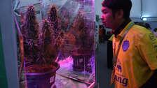 Tailandia: Así se celebró en el país asiático la legalización de la marihuana para uso médico