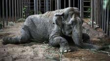 Elefanta que vivió 40 años de maltrato en Chile encuentra santuario y una nueva vida en otro país [FOTOS]